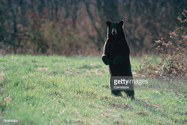 black bear at moosehorn national refuge , maine - black bear stock pictures, royalty-free photos & images