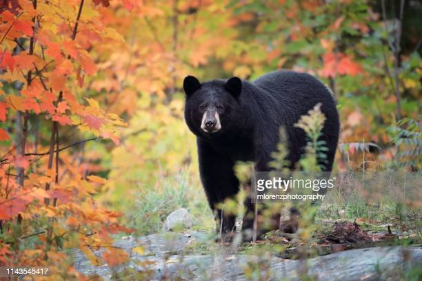 black bear & autumn colors - black bear stock pictures, royalty-free photos & images