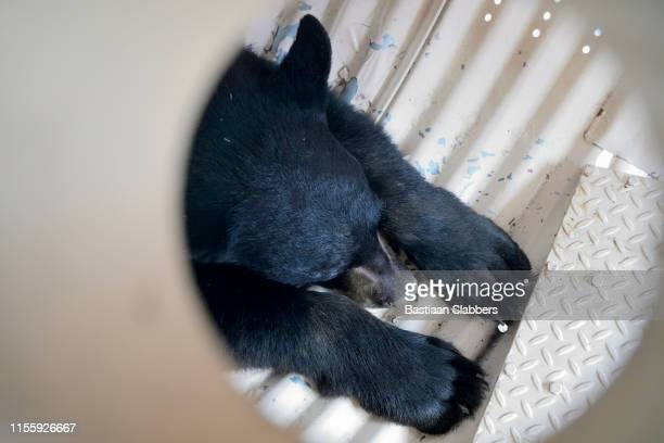 Black Bear Captured after Five-Day Chase Through Southeastern Pennsyvlania