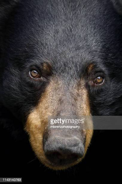black bear closeup - canada stock pictures, royalty-free photos & images