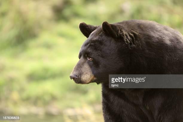 Black Bear Close-up (shallow depth of field)