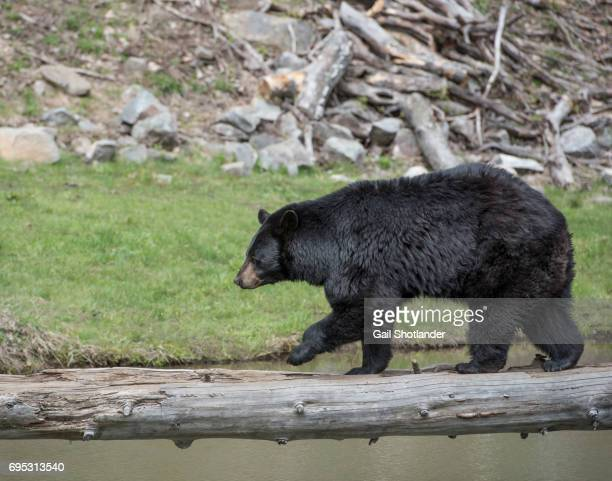 Black Bear Crossing River on Log
