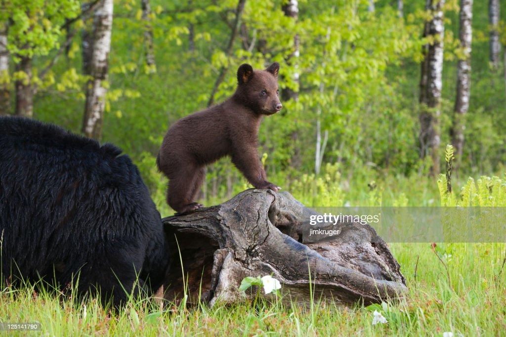 Urso preto filhote e mãe. : Foto de stock