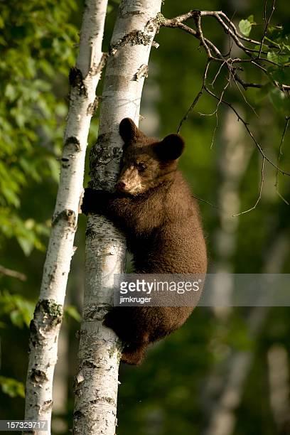 Black bear cub climbing birch tree.