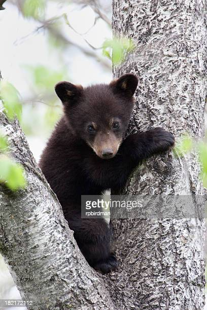 Black bear cub in between two limbs of a tree