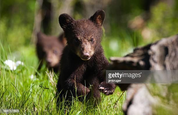 Black bear cub in Minnesota.