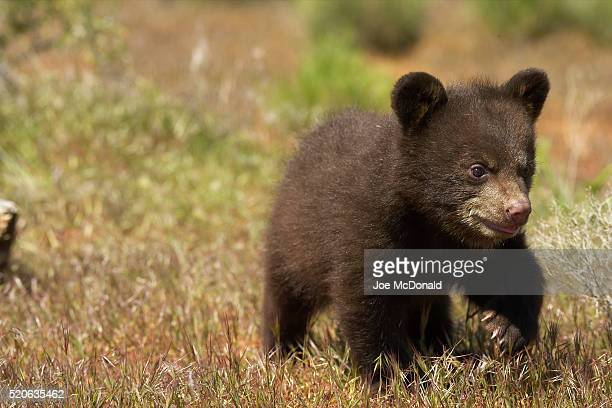 black bear cub - bear cub stock pictures, royalty-free photos & images