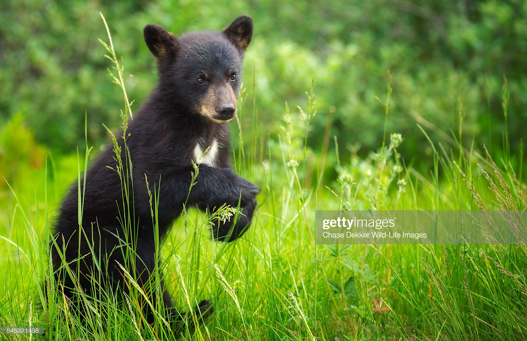 Black Bear Cub : Foto stock