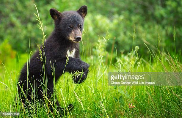 black bear cub - black bear stock pictures, royalty-free photos & images
