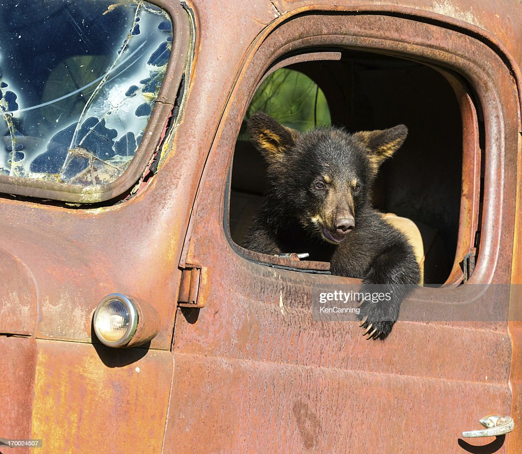 Black Bear Cub Playing in Old Truck : Stock Photo