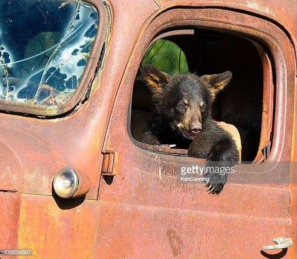 Black Bear Cub Playing in Old Truck