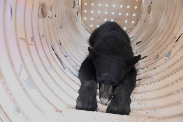 PA: Black Bear Cub On The Loose For 5 Days In Philadelphia Is Captured