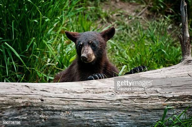 Black Bear Cup