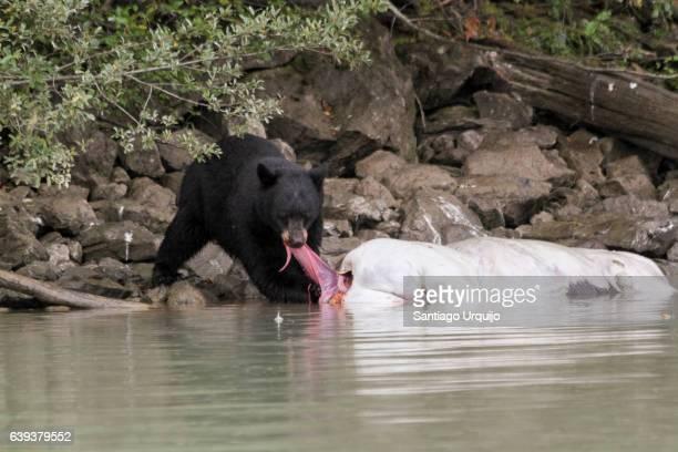 Black bear eating a dead animal