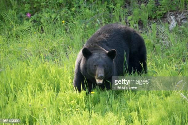 Black bear eating plants along Alaska Highway northern British Columbia Canada