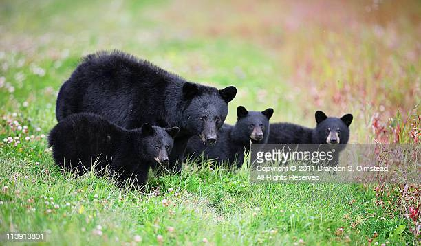 black bear family - black bear stock pictures, royalty-free photos & images