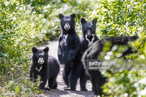 Black bear family, Waterton Lakes National Park