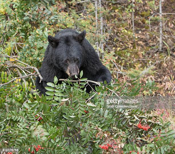 Black bear feeding on mountain ash near the Mammoth to Tower Road, Yellowstone National Park, Wyoming, 2016. Image courtesy Jim Peaco/Yellowstone...