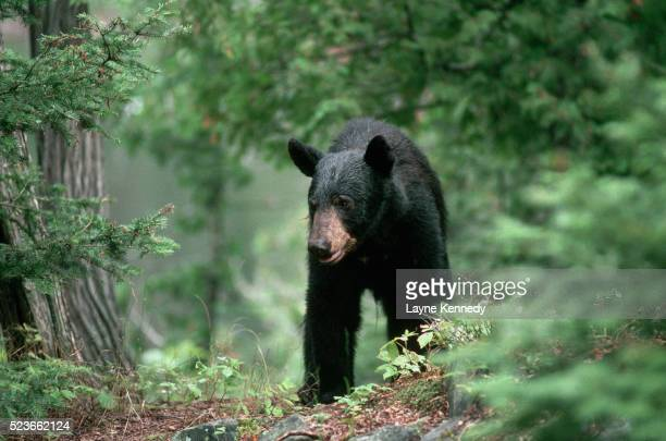 black bear hunting for food - minnesota stock pictures, royalty-free photos & images