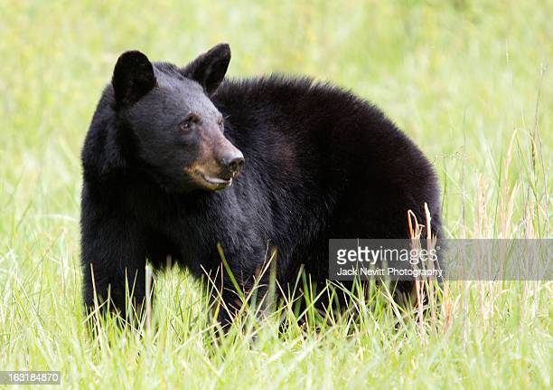 black bear in field of grasses - black bear stock pictures, royalty-free photos & images