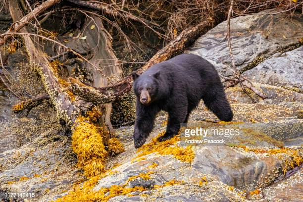 black bear (ursus americanus) in punchbowl cove in rudyerd bay, misty fiords national monument - black bear stock pictures, royalty-free photos & images