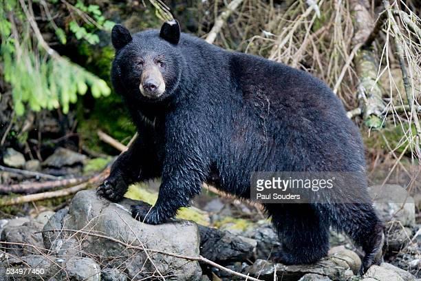 Black Bear in Rainforest in Alaska