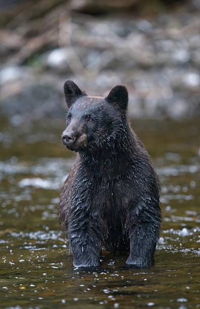 Black Bear in Salmon Stream, Alaska