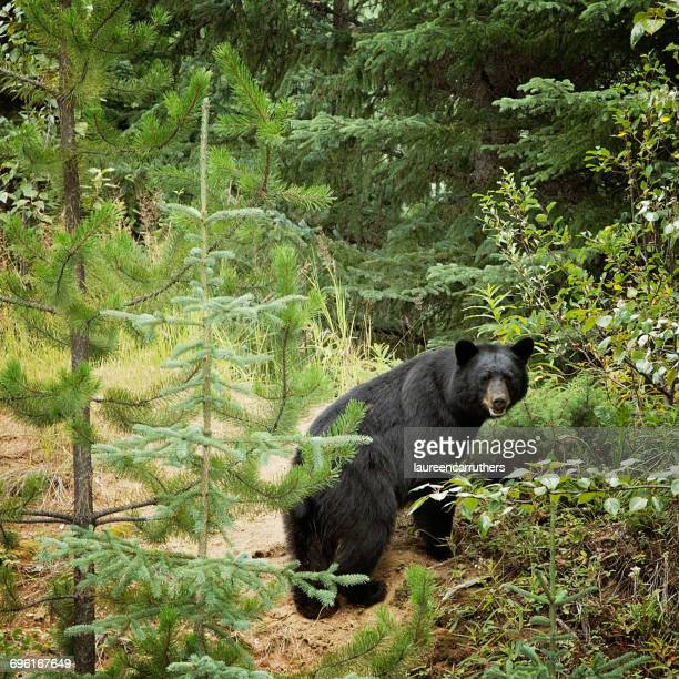 black bear in the woods, williams lake, british columbia, canada - black bear stock pictures, royalty-free photos & images