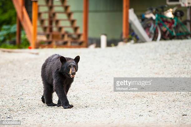 A black bear is foraging for food in an Eagle River neighborhood, Southcentral Alaska, summer.