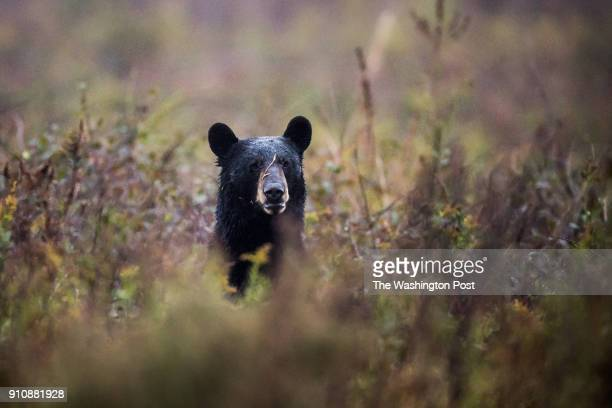 Black Bear is seen in a field at the Alligator River National Wildlife Refuge on Wednesday November 8 in Manns Harbor NC