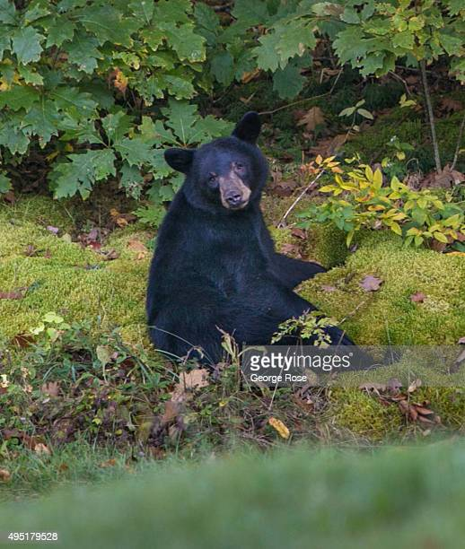 A black bear is viewed along the Blue Ridge Parkway near Craggy Mountain on October 6 2015 near Asheville North Carolina Named one of the 'Top 10...