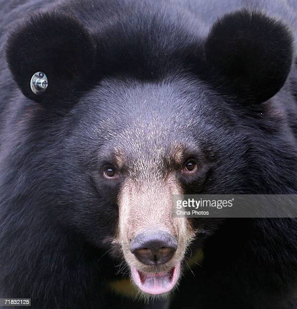 A black bear looks up from its pen at the Moon Bear Rescue Centre September 9 2006 in Chengdu of Sichuan Province China Established in 2002 the...