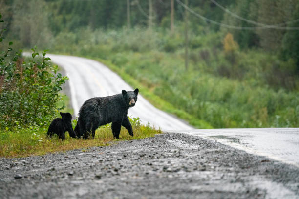 Black Bear on the side of the road with cubs, British Columbia, Canada