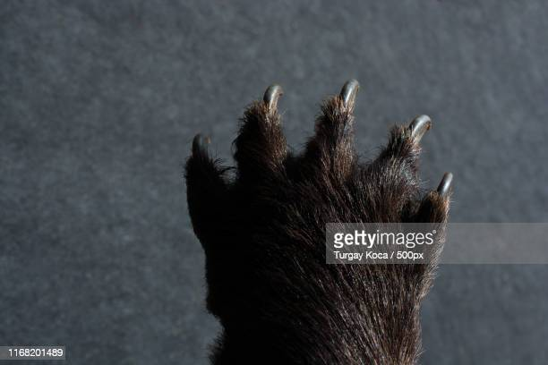 black bear paw with sharp claws - bear tracks stock pictures, royalty-free photos & images