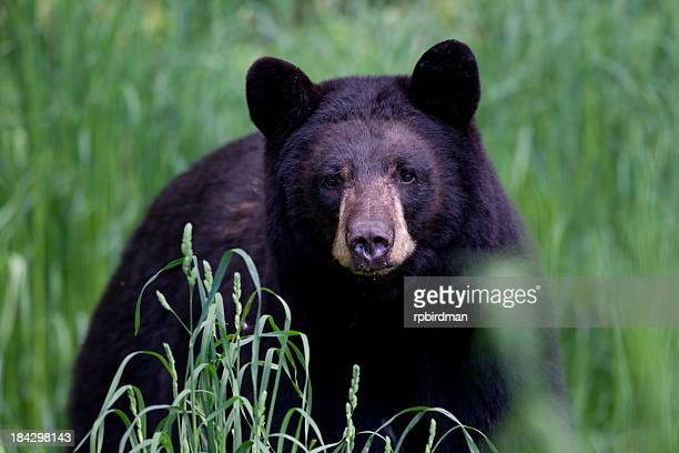 black bear - black bear stock pictures, royalty-free photos & images