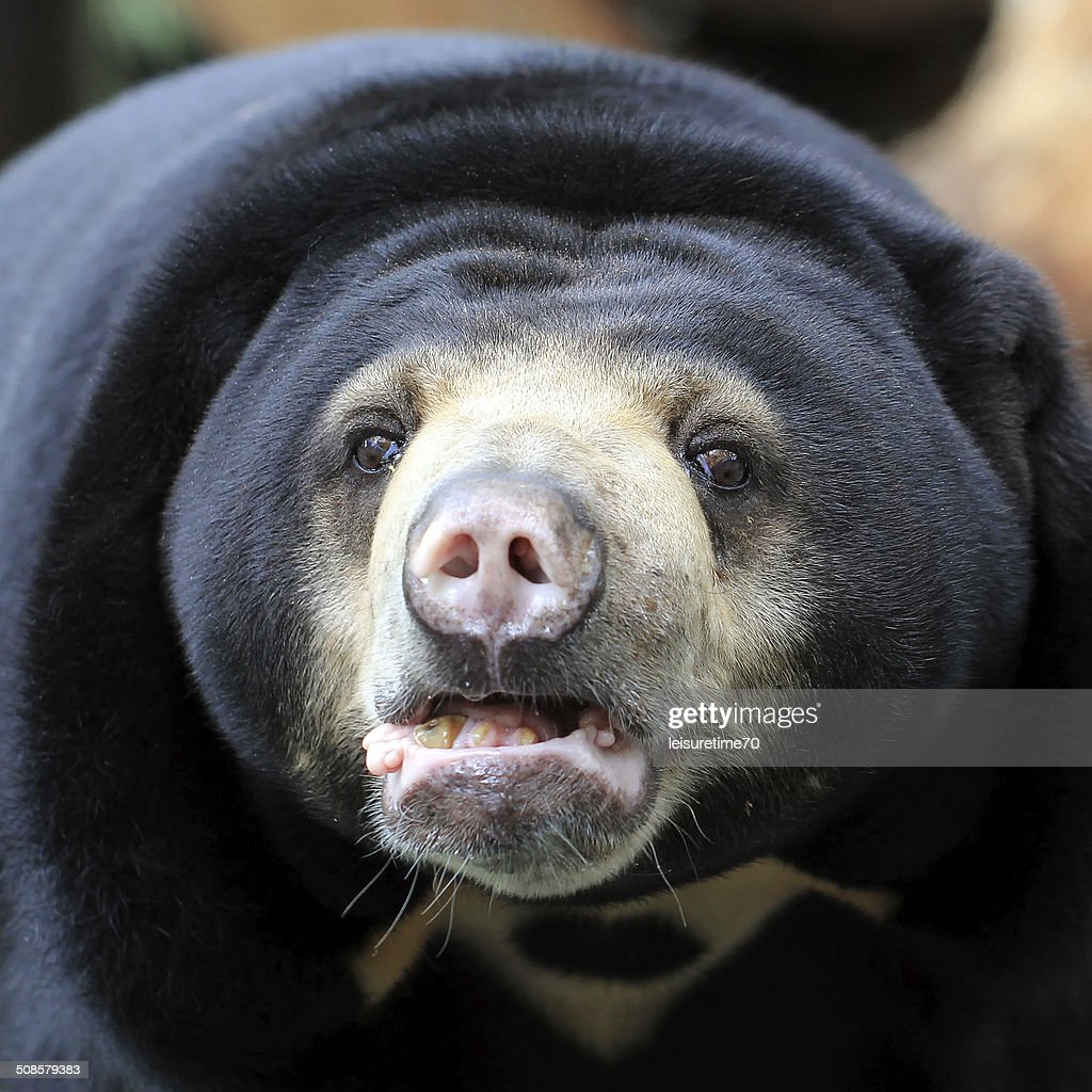 black bear : Stock-Foto