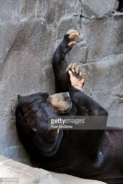 black bear - ryan mcginnis stock photos and pictures