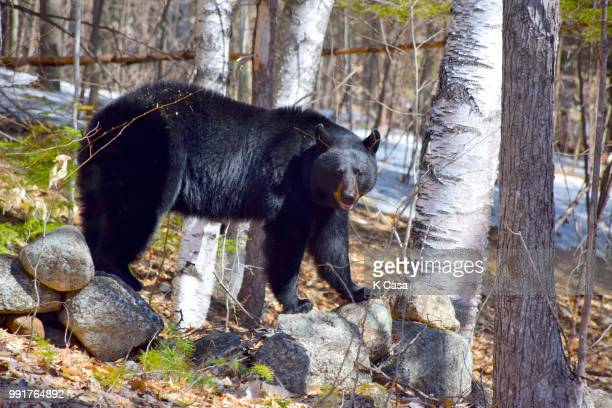 black bear - casa stock-fotos und bilder
