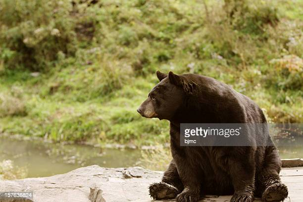 Black Bear Resting on Rocks ( shallow depth of field)