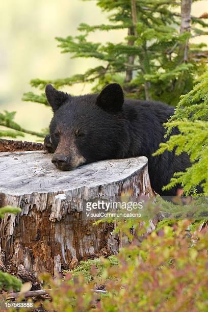 black bear resting.