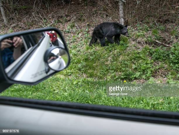 A black bear searches for food along the Tennessee border at Newfound Gap on May 11 2018 near Cherokee North Carolina The Great Smoky Mountains...