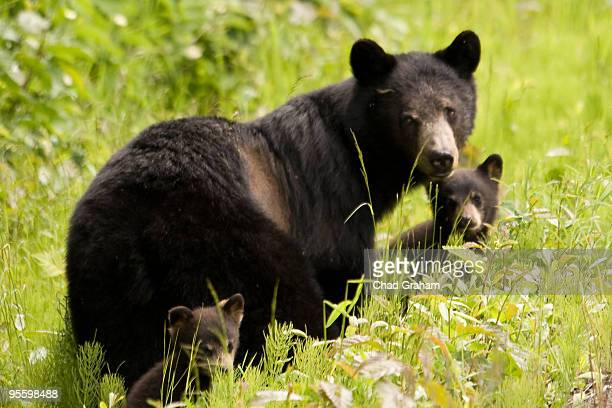 Black Bear Sow and two Cubs