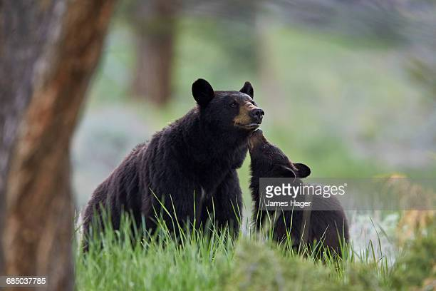 Black Bear (Ursus americanus), sow and yearling cub, Yellowstone National Park, Wyoming, USA