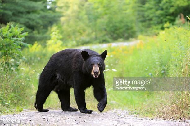 Black Bear Sow Walking