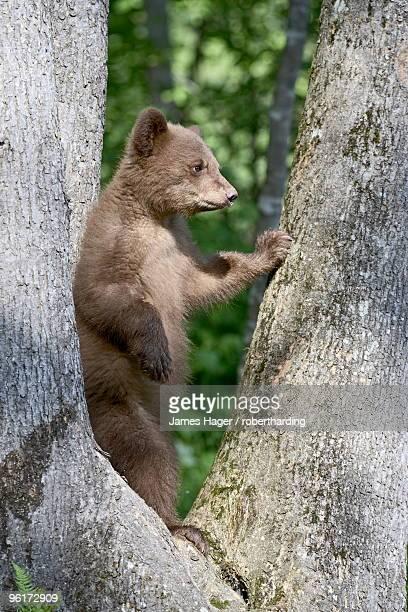 Black bear (Ursus americanus) spring cub in captivity, Sandstone, Minnesota, United States of America, North America