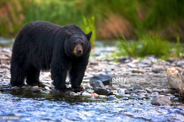 Black bear (Ursus americanus) standing in rocky stream, British Columbia, Canada
