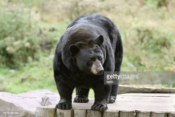 black bear standing - black bear stock pictures, royalty-free photos & images