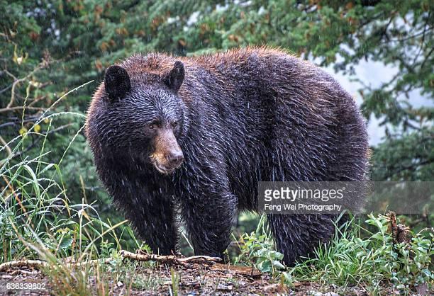 Black Bear @ Waterton Lakes National Park, Alberta, Canada