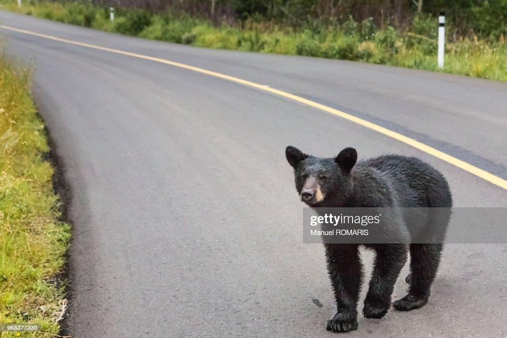 Black bear, Waterton Lakes National Park : Stock Photo
