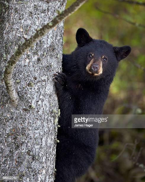 Black Bear (Ursus americanus) yearling cub climbing a tree, Yellowstone National Park, Wyoming, USA